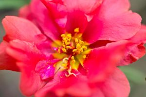 And now a Moss Rose... by drewii57