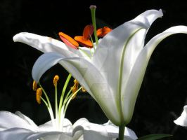 white lily by GreenMusic
