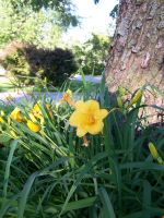 Stella D'oro Day Lily 8 by racheltorres921