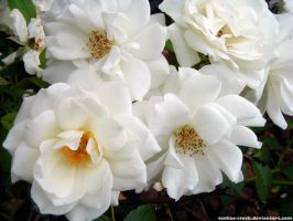 Flower 02 : White Rose by taeliac-stock