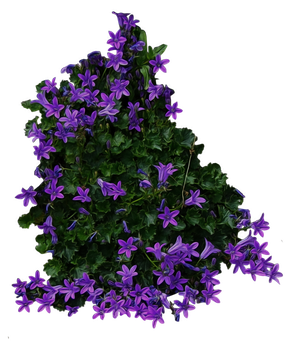 Purple Flowery Bush PNG.. by AledJonesStockNArt