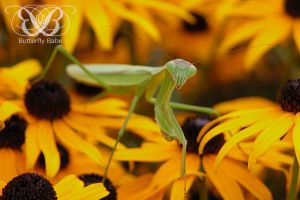 Praying Mantis Photography by TheButterflyBabe