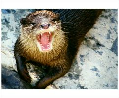 The Angry Otter by edgeOfallthings