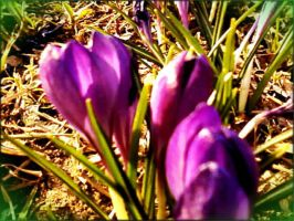 Bright crocuses. by Mladavid
