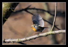 A dancing robin by Rajmund67