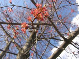 red maple flowers by CotyStock
