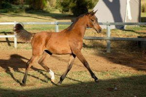 JA Arab Yearling bay trot side few ears up by Chunga-Stock