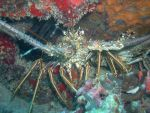 Spiny Lobster by viking38