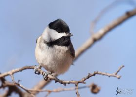 Black-capped Chickadee by EdgedFeather