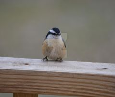 Red-breasted Nuthatch by IdolRebel