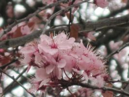cherry blossoms by harry-potter-maniac
