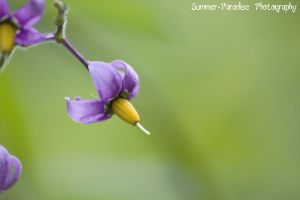 Purple and Yellow Flower by Summer-Paradise