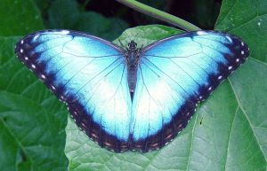 Blue Morpho by Daniel-Storm