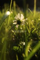 Daisy in the Evening by Sophie-Wieland