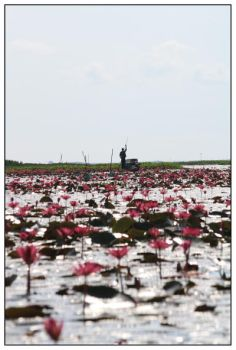lotus forest No. 4 by areefeen