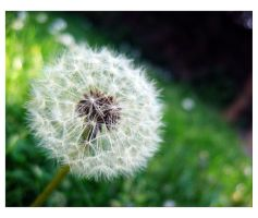 .Dandelion. by Patatina