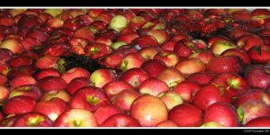 Apple Bath 2 by picworth1000wrds