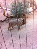 Pretty Bobcat by Maggiekitten101