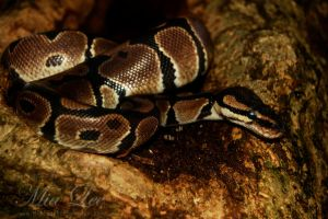 Royal Python by MiaLeePhotography