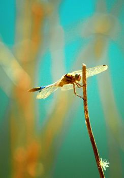 Dragonfly by Melica75
