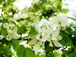 Apple Blossoms 6 by techunit