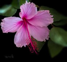 Pink Hibiscus by vanndra
