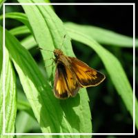 Folded-Wing Skipper by MuseSusan