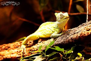 lizzard by Wintertale-eu