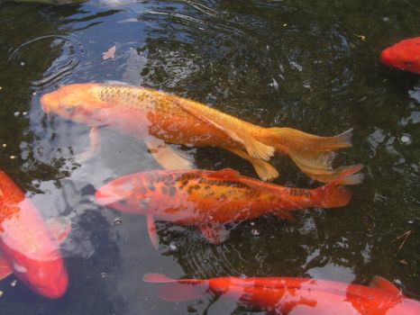 Colorful Koi Fish by Rapid-Star