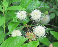 Common Buttonbush 2a by Windthin