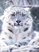 Snow Leopard by akaBadMedia