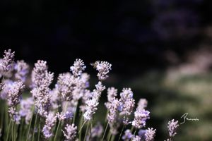 Lavender 3 by KingPinPhotography