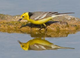 Hello Handsome - Citrine Wagtail by Jamie-MacArthur