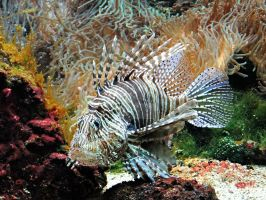 Lion Fish by thisaintmyday