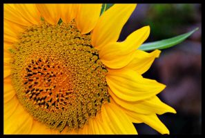 Tournesol by Feufoll3t