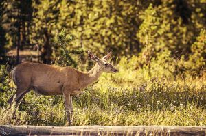 Yellowstone Doe by JessicaDobbs
