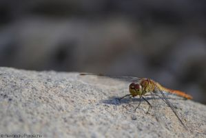 Dragonfly by AlecsPS