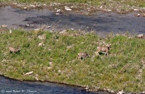 Mulie Doe and Twin Fawns by hunter1828