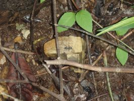 ROPanama Research: Ants are LARGE here by Namyr