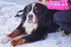 Bernese Mountain Dog Stock 2 by JArcher-Stock