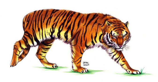 Tiger by iassu