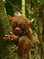 Tarsy the Tarsier by aliaharkonnen