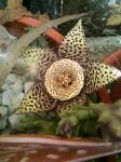 Star shaped cactus flower by SoularWolf4