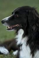 Wisdom in a Border Collie by SaNNaS