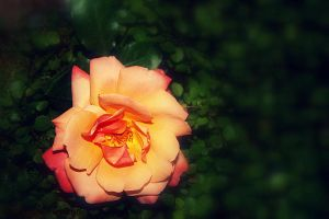 End Of Summer Rose by designerfied