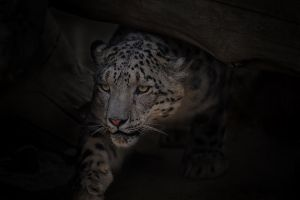 Snow Leopard by LifeCapturedPhoto