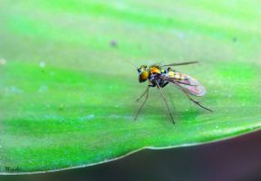 Long Legged Fly by FallOut99