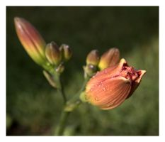Daylily Bud by dove-51