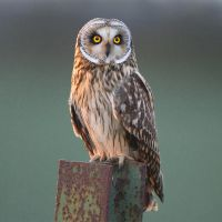 Short-eared owl by Jamie-MacArthur
