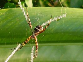 Mature Agriope Spider by christinee